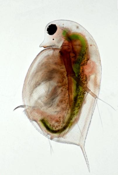 Daphnia prise au microscope inversé